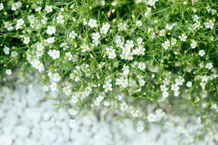 ornamental plant: White flowers of ornamental plant Alissum