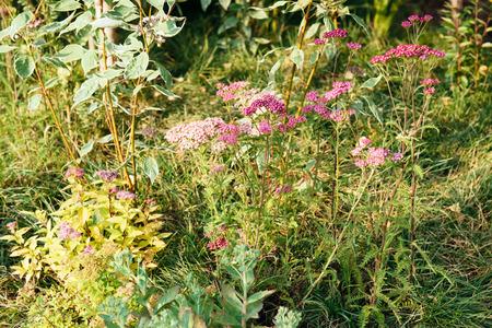yarrow: Purple flowers of Yarrow decorative plant