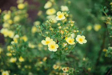 Potentilla fruticosa Elizabeth flower close-up Stock Photo