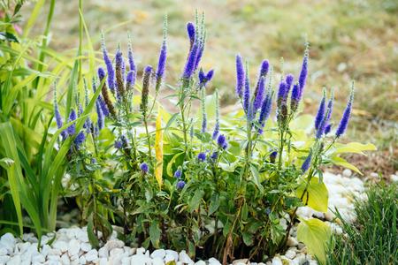 villi: Veronicastrum virgin open ground flowers