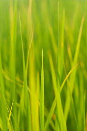 Texture and background of leave rice Stock Photo - 10661604