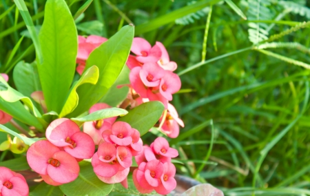 poi: Poi Sain,pink flowers is blooming in garden Stock Photo