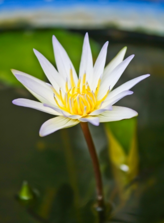 White lotus is blooming in morning from Thailand photo