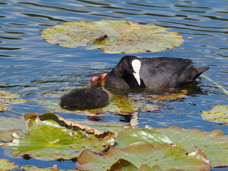 Mother Coot looking at youngster - Fulica atra Stock Photo