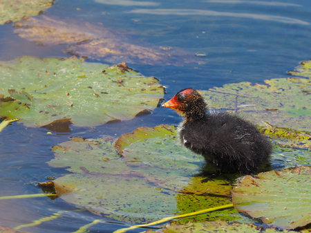 Coot on water lily - Fulica atra Stock Photo