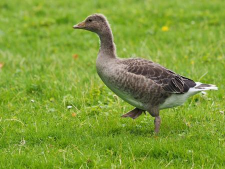 anser: Graylag goose - Anser anser