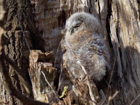 Young Tawny Owl ( Strix Aluco  )
