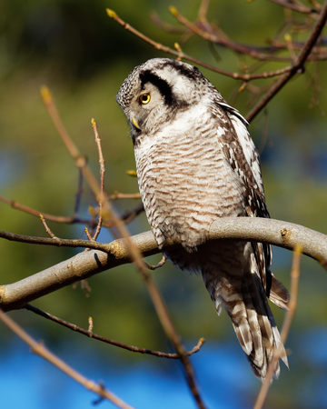northern light: Hawk Owl resting on a branch in the forest - Surnia ulula