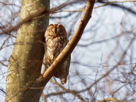Tawny Owl ( Strix Aluco  )