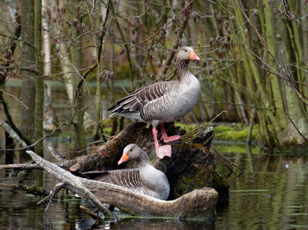 Pair of Greylag Goose pose to the photographer