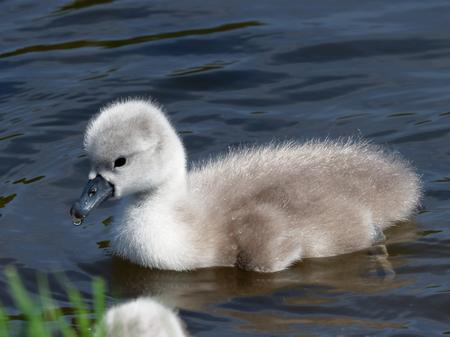 cygnus olor: Mute Swan- Cygnus olor Stock Photo