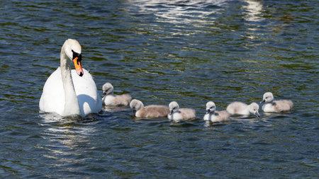 cygnus olor: Mute Swan- Cygnus olor
