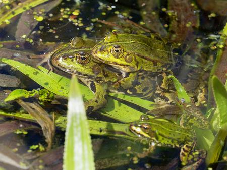 Common Water Frog -Pelophylax esculentus Stock Photo