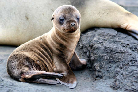 cuteness: Sea Lion Puppy, Galapagos Islands Stock Photo