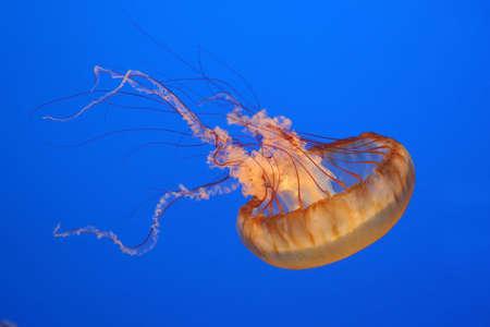 Orange jellyfish on blue background photo