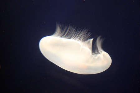 monterey: White Jellyfish in Monterey Bay Aquarium, USA Stock Photo