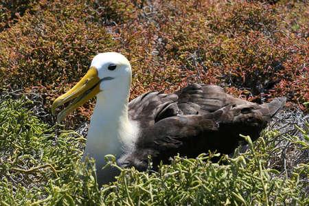 seabird: Albatross, Punta Su�rez, Isla Espa�ola, Galapagos
