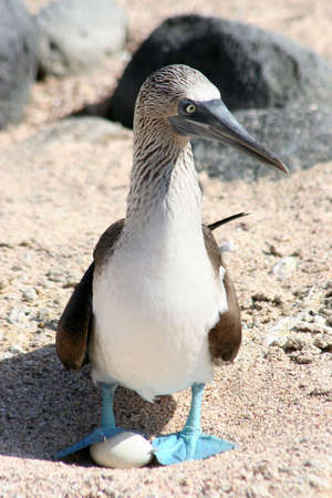vacationer: Blue-footed Booby, Isla Seymour, Galapagos