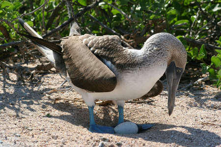 booby: Blue-footed Booby, Isla Seymour, Galapagos
