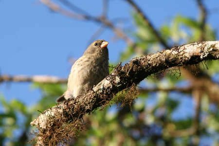 finch: Finch, Isla Santa Cruz, Galapagos