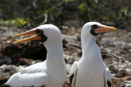 seabirds: Masked Boobies, El Barranco, Isla Genovesa, Galapagos Stock Photo