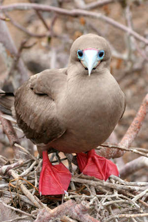 discovering: Red-footed Booby, El Barranco, Isla Genovesa, Galapagos