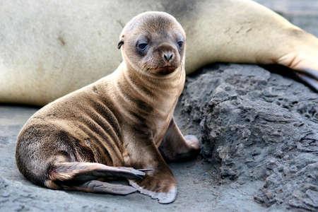 Sea Lion Puppy, Puerto Egas, Isla San Salvador, Galapagos photo