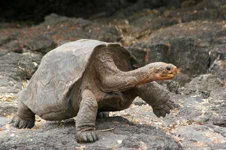 vacationers: Tortoise, Charles Darwin Research Station, Puerto Ayora, Isla Santa Cruz, Galapagos