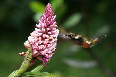 Humming Bird drinking from a Flower, Monteverde, Costa Rica photo