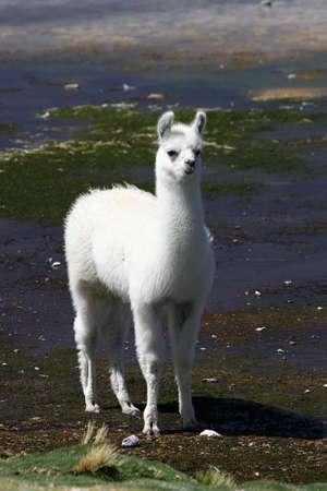 Llama near the Read Lagoon, Bolivia Stock Photo - 3107795