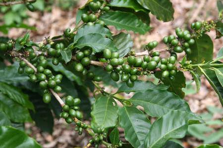 planta de cafe: Plantas de caf� con granos de caf� fresco, Monteverde, Costa Rica
