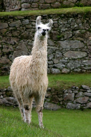 llama: Llama at Machu Picchu, Peru Stock Photo