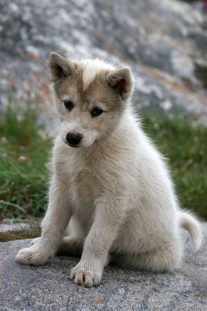 greenland: Sled dog puppy sitting in Ilulissat, Greenland Stock Photo