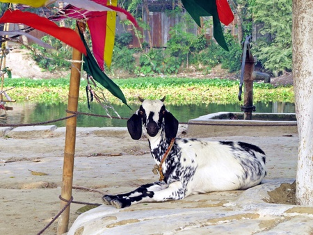goat enjoying leisure time near Shrine of Lalon Shah, Kushtia, Bangladesh