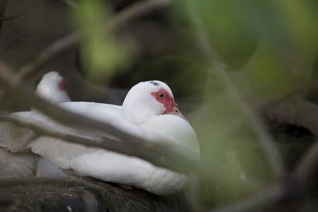 color image mallard duck: Birds and animals in wildlife.