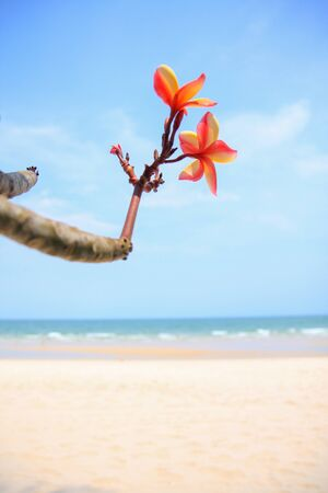 plumeria flower on the beach Stock Photo