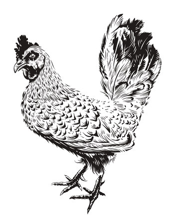 Vector Rooster Illustration. Engraving style cock. Retro art isolated on white. Standard-Bild - 100055102
