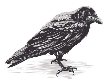 Vector crow isolated on white. Hand drawn vector art. Sketch vector illustration.