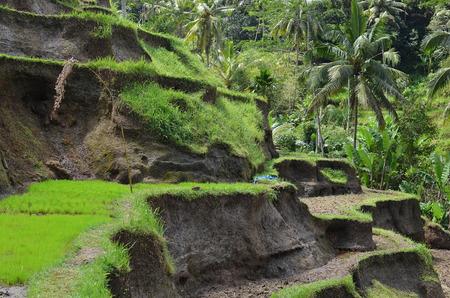rice terrace: Balinese Rice terrace