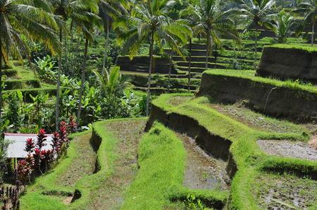balinese: Balinese Rice Terrace Stock Photo