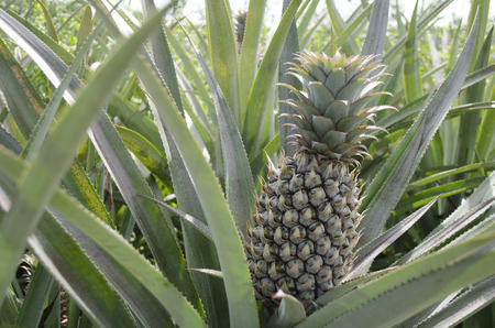 botanical farms: Fresh clump of pineapple and many green leaf.