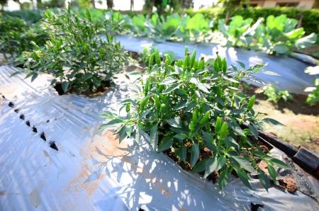 plot: chili tree in vegetable plot