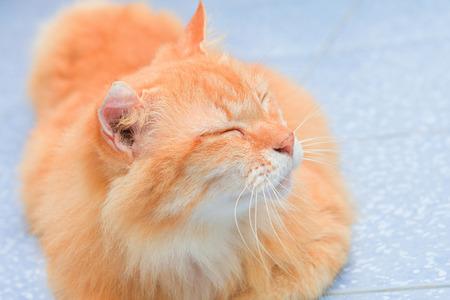 gato naranja: lindo gato naranja se extiende en el suelo, los animales Foto de archivo