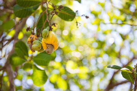 cashew tree: fresh cashew nut on tree in garden, plant