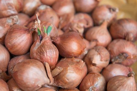 shallots: Small red onion, shallots