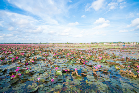 beautiful pink lotus in lotus swamp at Talay-Noi Pattalung province ,Thaialnd photo