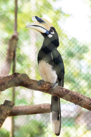 rare animals: Oriental pied hornbill hold on perch in cage