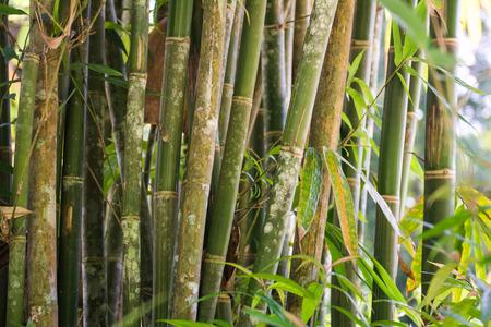 fresh bamboo forest in garden