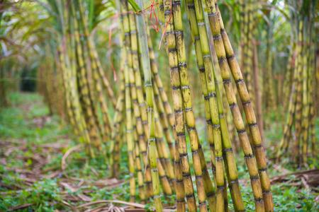 sugarcane: fresh sugarcane in garden, farm