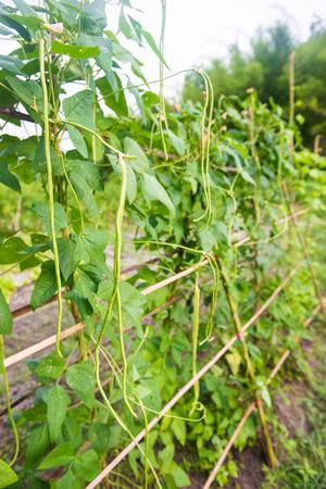 long bean: fresh yard long bean in garden, vegetbale